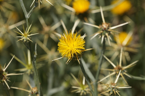 Yellow Star Thistle - Centaurea Soistitialis; The plant is an invasive pest, degrades native plant habitats and prevents the grazing of domestic animals in rangelands.