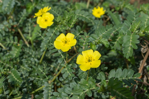 Puncture Vine - Tribulus Terrestris,  Also known as goathead, spines can cause injury to humans, pets and livestock. Not to mention bicycle tires!